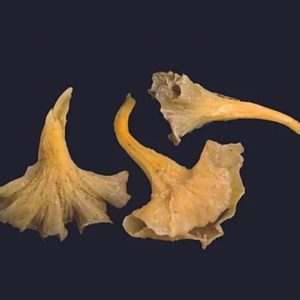 CHANTHARELLUS LUTESCENS ENTERA SALOM