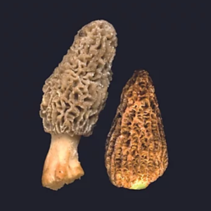 MORCHELLA CONICA ENTERA SALOM